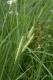 Carex rostrata [copyright]
