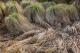 Cariçaies à Carex paniculata [copyright Wibail Lionel]