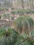 Cariçaie à Carex paniculata.JPG