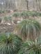 Cariçaie à Carex paniculata [copyright Wibail Lionel]