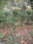 Carlina vulgaris [copyright]