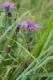 Centaurea jacea [copyright Wibail Lionel]
