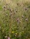 Centaurea nigra [copyright]