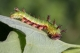 chenille de Petit Sylvain (Limenitis camilla) [copyright Vanmeerbeeck Philippe]