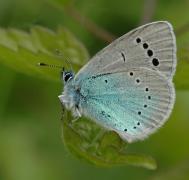 Azuré des cytises (Glaucopsyche alexis) [copyright Steeman Chris]