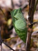 chrysalide de Flambé (Iphiclides podalirius) [CC by Fichefet Violaine]