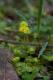 Chrysosplenium alternifolium [copyright Wibail Lionel]
