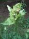 Cirsium oleraceum [copyright]