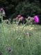 Cirsium palustre [copyright]