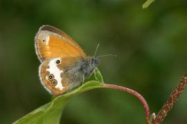 Céphale (Coenonympha arcania) [copyright Delacre Jean]