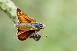 mâle de Virgule (Hesperia comma) [CC by-sa San Martin Gilles]
