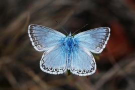 Argus bleu nacré