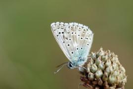 Argus bleu nacré (Polyommatus coridon) [CC by-sa San Martin Gilles]