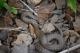 Coronelle lisse (Coronella austriaca) [copyright Bultot Jacques]