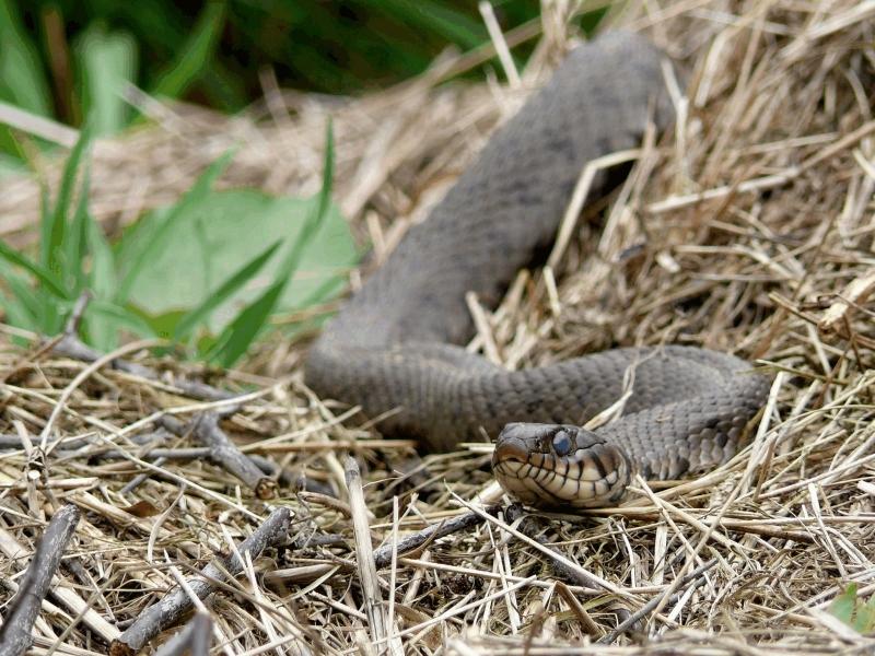 Couleuvre A Collier Natrix Natrix Reptiles Vertebres La