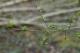 Crataegus monogyna [copyright]