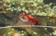 Crocothemis écarlate (Crocothemis erythraea) Tandem. [copyright Ghilain Brigitte]