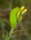 Thécla de la ronce (Callophrys rubi) [copyright Baugnée Jean-Yves]