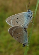 Cyaniris semiargus couple