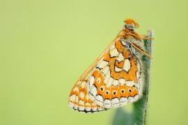 Damier de la Succise (Euphydryas aurinia) [copyright Barbier Yvan]