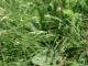 Danthonia decumbens [copyright]