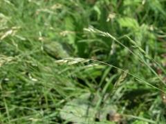 Danthonia decumbes.JPG