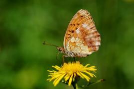 Nacré de la ronce (Brenthis daphne) [CC by-sa San Martin Gilles]