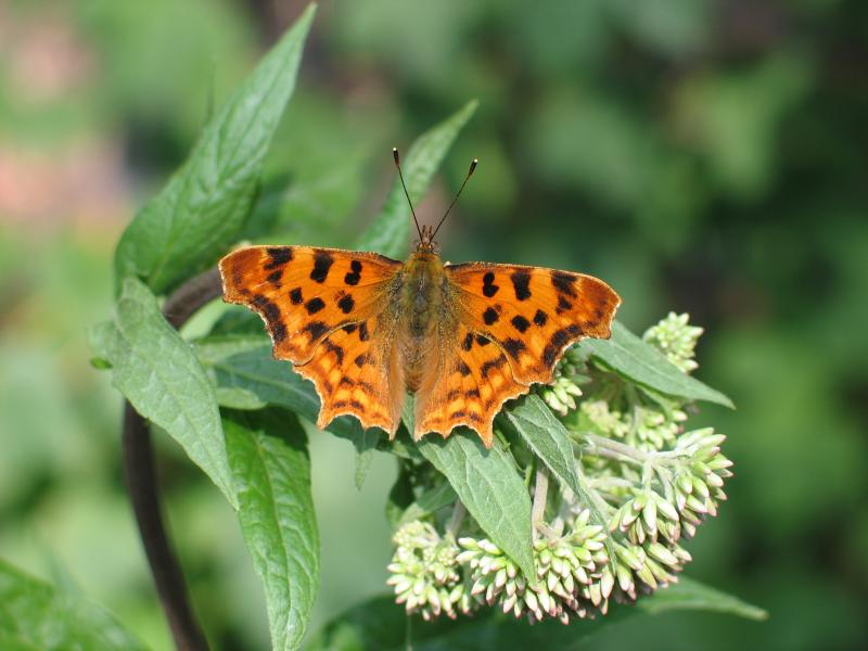 robert le diable polygonia c album papillons diurnes insectes la biodiversit en wallonie. Black Bedroom Furniture Sets. Home Design Ideas
