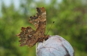 Robert le diable (Polygonia c-album) [copyright Devillers Christine]