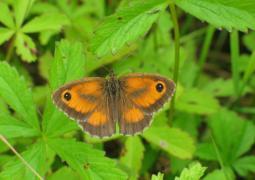 Amaryllis mâle (Pyronia tithonus) [copyright Devillers Christine]