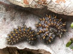 chenilles de Damier noir (Melitaea diamina) sous Valeriana repens [copyright Baugnée Jean-Yves]
