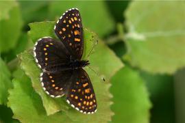 Damier noir (Melitaea diamina) [copyright Delacre Jean]