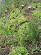 Dianthus carthusianorum 2