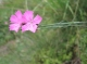 Dianthus carthusianorum [copyright]
