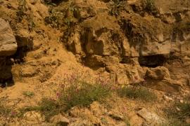 Dianthus deltoides 2
