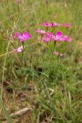 Dianthus detloides