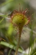 Drosera rotundifolia [copyright]