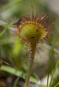 Drosera rotundifolia 1
