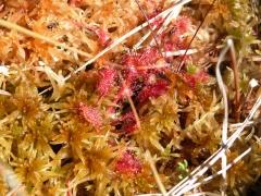 Drosera rotundifolia [copyright Delescaille Louis-Marie]