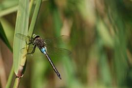 Anax napolitain (Anax parthenope) Mâle. [copyright Cors Ruddy]