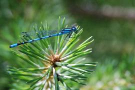 Agrion porte-coupe (Enallagma cyathigerum) Mâle. [copyright Cors Ruddy]
