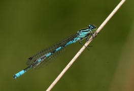Agrion hasté (Coenagrion hastulatum) Mâle. [copyright Parkinson Denis]
