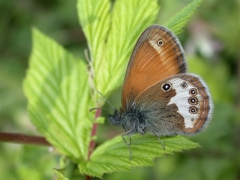 Céphale (Coenonympha arcania) [CC by Dufrêne Marc]