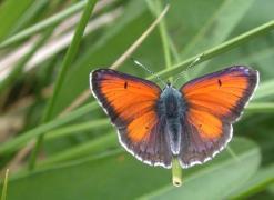 Cuivré écarlate mâle (Lycaena hippothoe) [CC by Dufrêne Marc]
