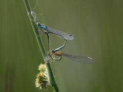 Agrion élégant (Ischnura elegans) Mâle et femelle accouplement. [copyright]