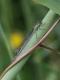 Agrion élégant (Ischnura elegans) Femelle. [copyright Rouck Jean]