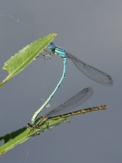 Agrion porte-coupe (Enallagma cyathigerum) Accouplement. [copyright Farinelle Charly]