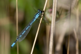 Agrion porte-coupe (Enallagma cyathigerum) Mâle. [copyright Farinelle Charly]