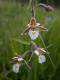 D4.15 - Bas-marais à [Carex dioica], [Carex pulicaris] et [Carex flava]