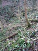 Erablaie-tillaie à scolopendre